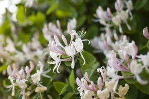 Honeysuckle Flowering Vines