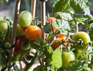 The How-to on Growing Tomatoes in Containers